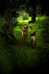 chiens courent